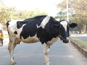 Saralas-cow-AL-300x225.png